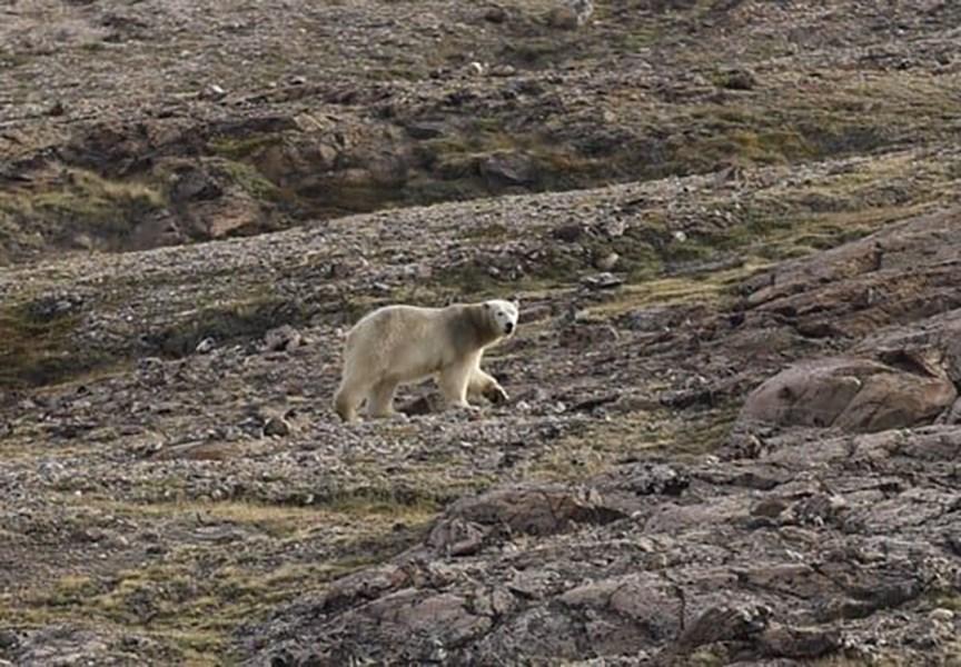 格陵蘭北極熊出沒攻擊人類 恐遭射殺