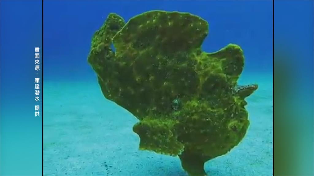 綠島見「五腳怪魚」會走還會跳!怪中帶萌!原來是罕見魚種「躄魚」