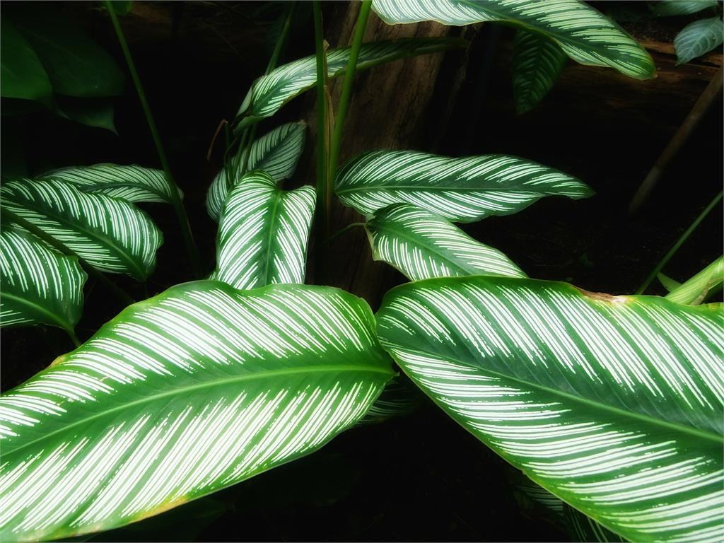 植物枯葉先別丟!這幾種觀葉植物冬眠後能復活