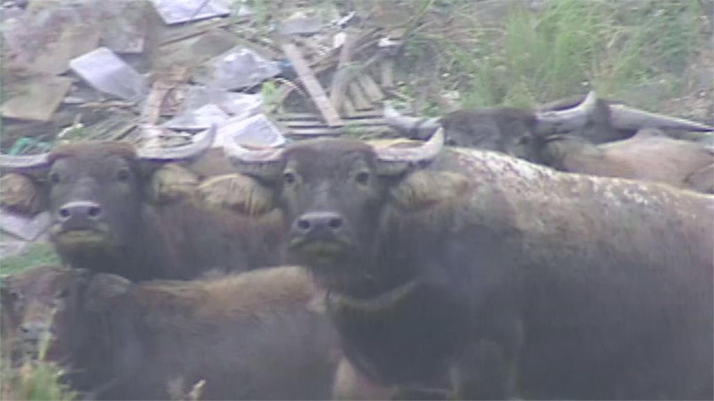 當抓寶?大漢溪違法養水牛遭拍賣 得標者要想辦法「自己抓牛」