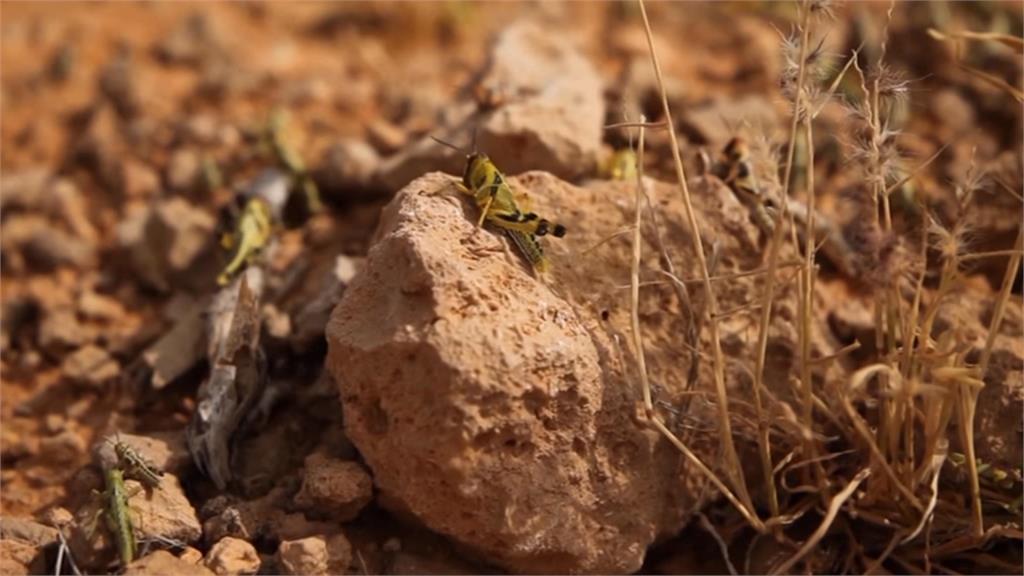 全球/氣候變遷蟲蟲危機!東非數以「億」計蝗蟲肆虐