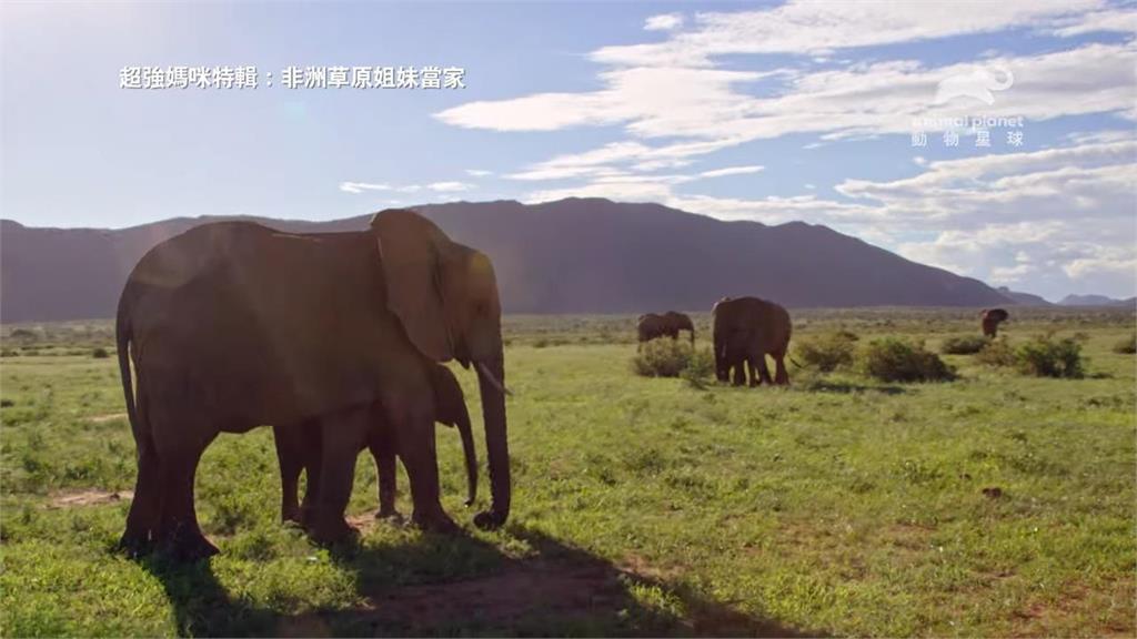 非洲草原女人當家 《超強媽咪特輯》一窺最強動物界母親