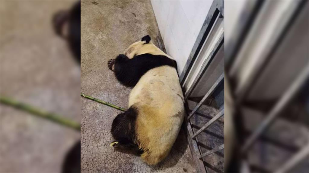 貓熊圓仔的阿嬤「雷雷」因病搶救無效  31歲死亡