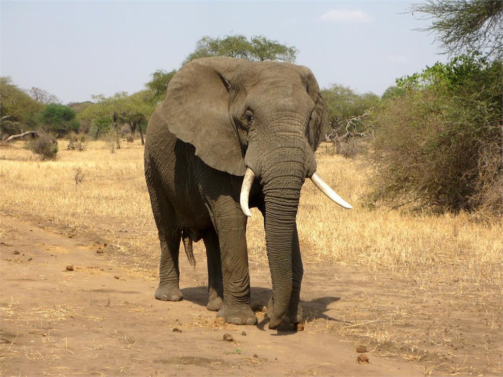 午夜傳1聲巨響?驚見大象破牆搜刮廚房 屋主崩潰:是常客!