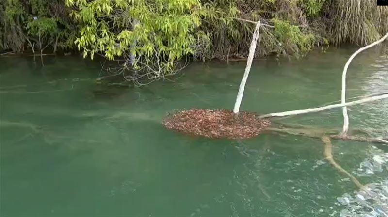 日月潭外來種魚虎狂繁殖驚見「水滾」異象!漁民嘆:是死亡泡泡
