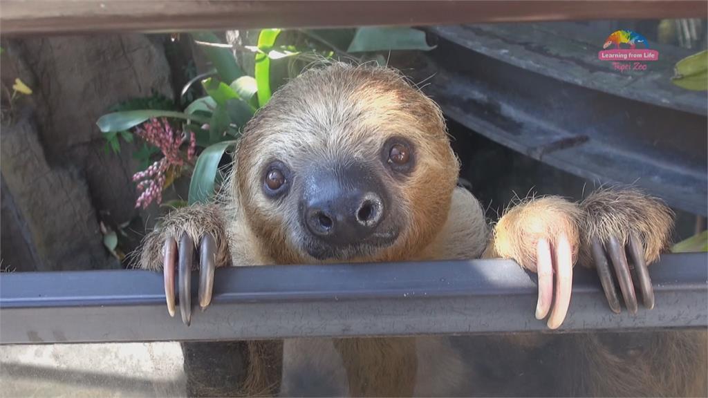 最慢速脫逃!翻牆花40秒! 木柵動物園樹懶「逃家」遊客猛拍