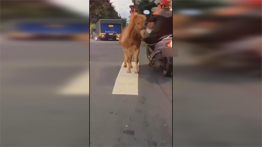 街頭驚現「騎車溜馬」 飼主恐吃600元罰單