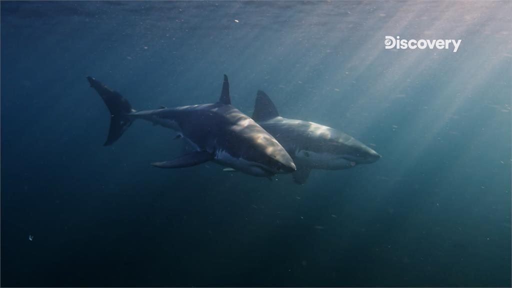 鯊與鯊的連結!他發明機械魚潛「海洋霸主」交配聖地 首度求偶畫面大公開