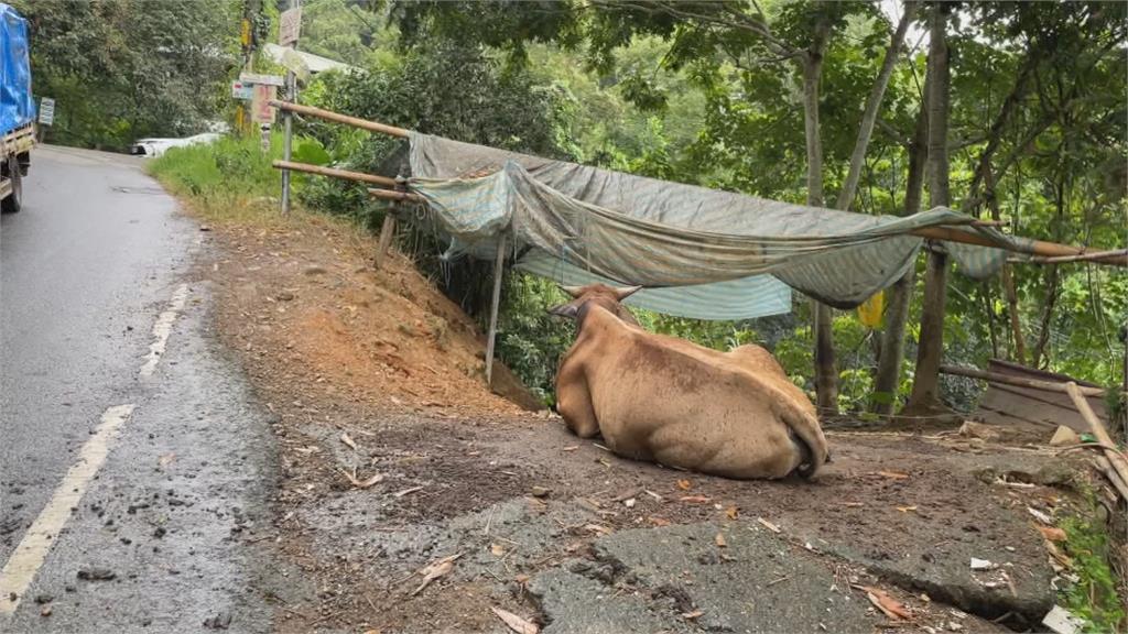 罕見車禍!小貨車、黃牛相撞 飼主、車主達和解