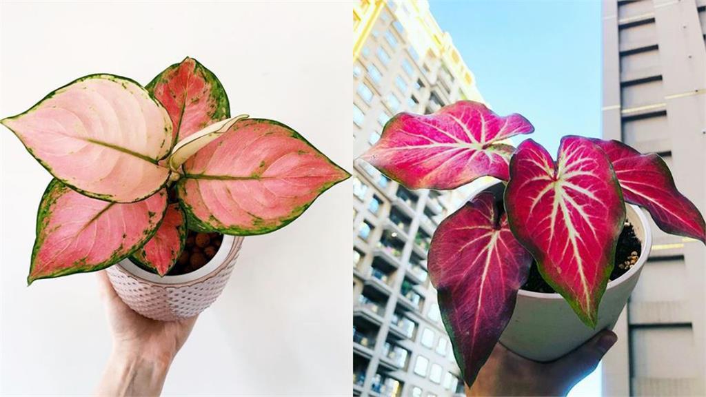紅通通、喜洋洋!7種過年討喜又好照顧的觀葉植物