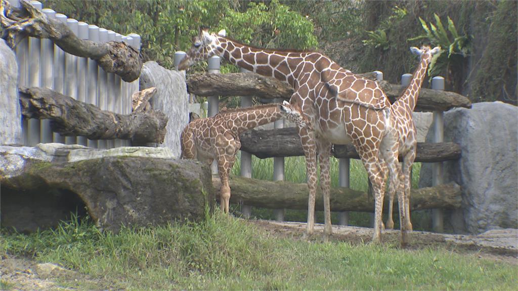 北市動物園長頸鹿寶寶「麥芽」見客個性謹慎躲角 想目睹本尊得有點耐心