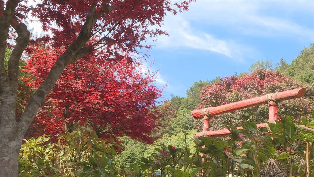 杉林溪楓葉紅了 黃金水杉也換裝變色 旅客朝聖徜徉大自然美景之中