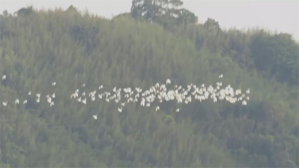 黃頭鷺往南大遷徙 苗栗公館、三義天空中出現白色「鳥河」
