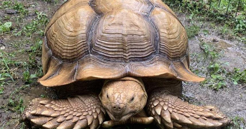 超級弱!烏龜逃家...74天後「離家200公尺」被發現
