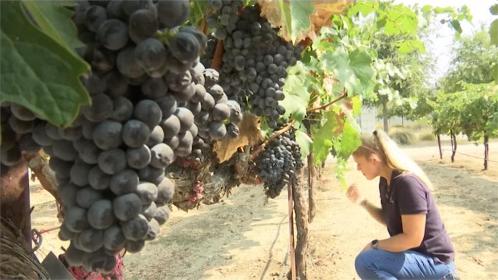 野火肆虐濃煙不散 葡萄全變質 美葡萄酒業者忍痛放棄採收!
