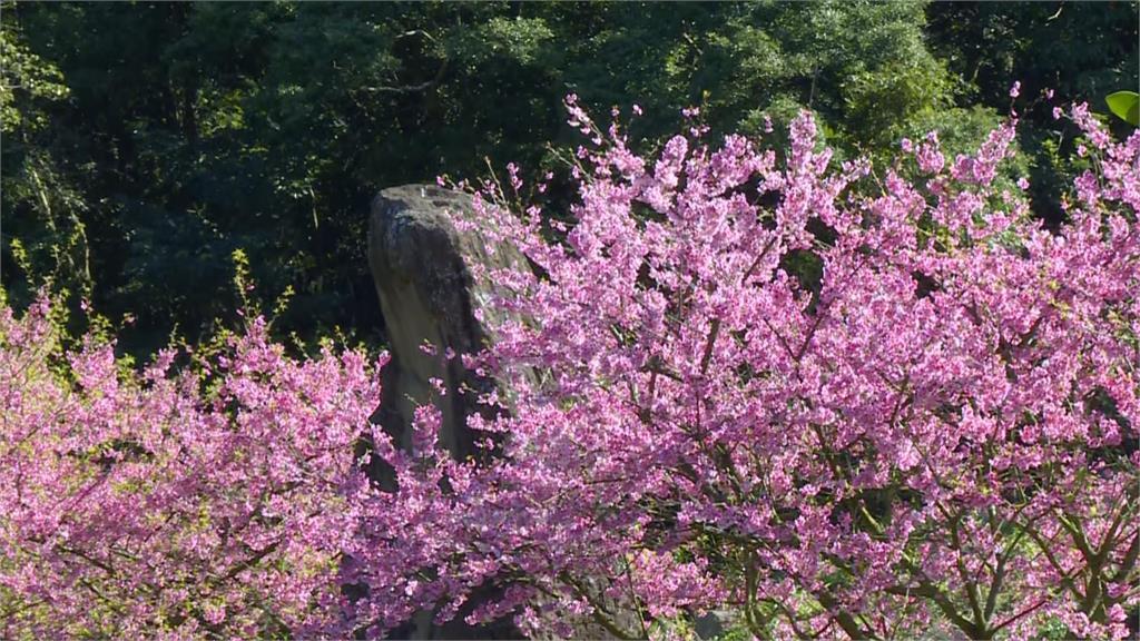 快新聞/天元宮賞櫻季引大批遊客 廟方嚴謹實施量體溫、戴口罩防範疫情