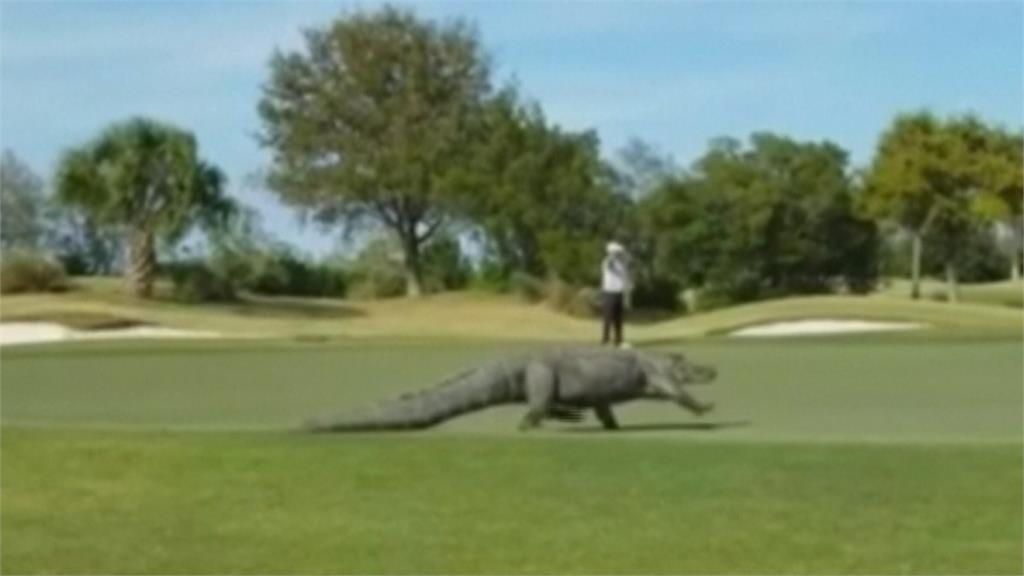 巨鱷亂入美國高球場 逛大街嚇壞球友