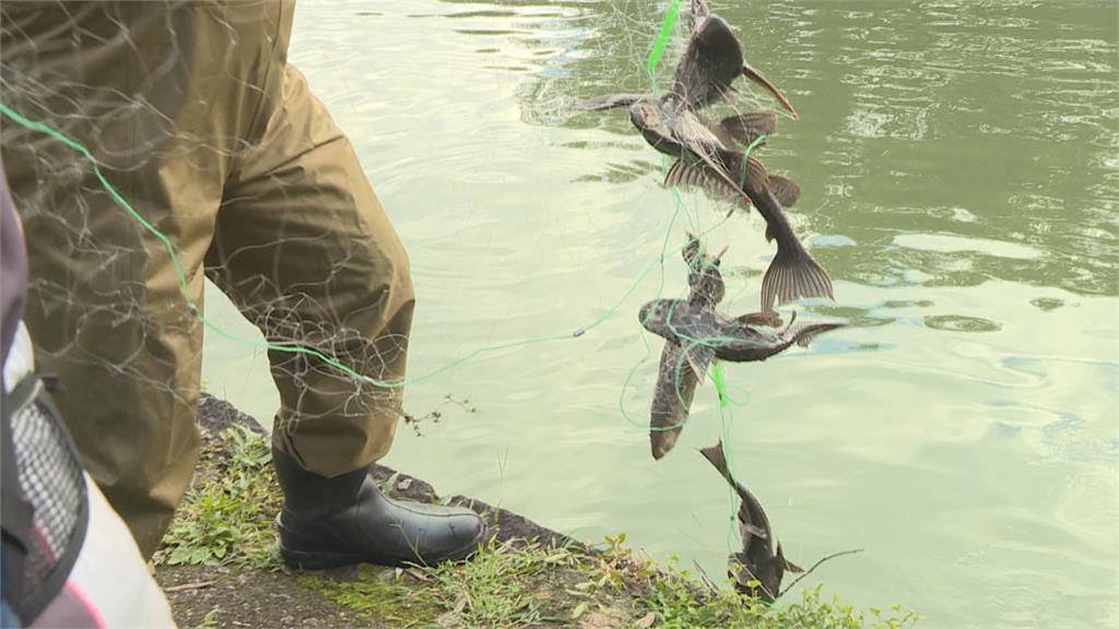 琵琶鼠魚入侵危生態 台北市展開大規模捉捕