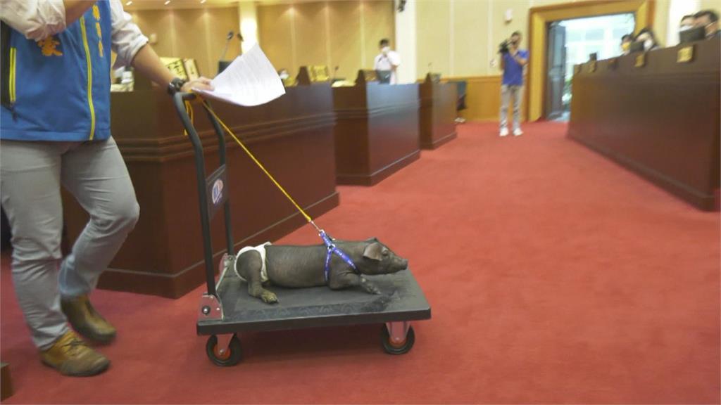 彰化議員曹嘉豪帶「包尿布小豬」進議會 連縣長也忍不住多看幾眼