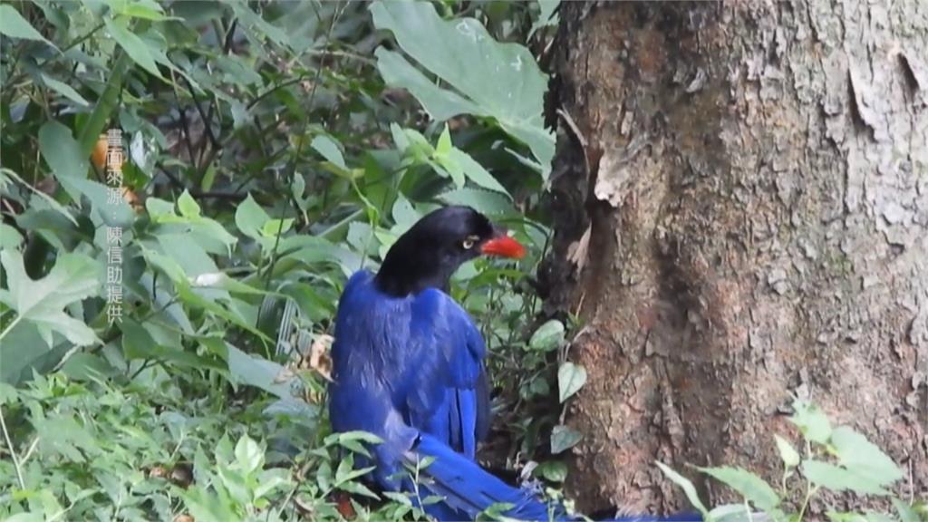 藍鵲洗「蟻浴」!環保志工捕捉珍貴畫面