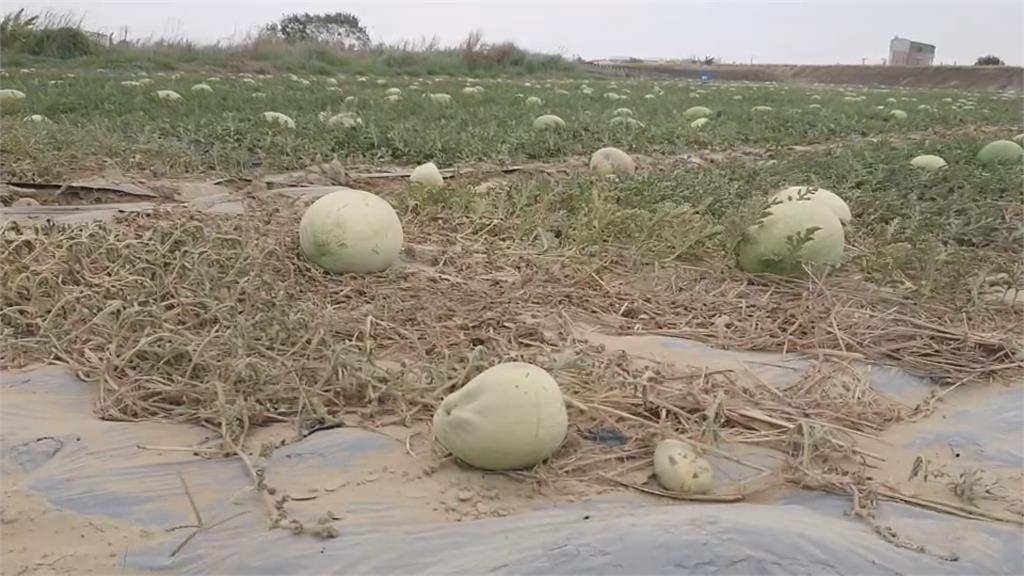 旱災瓜農著急 台南學甲西瓜產量估剩4成