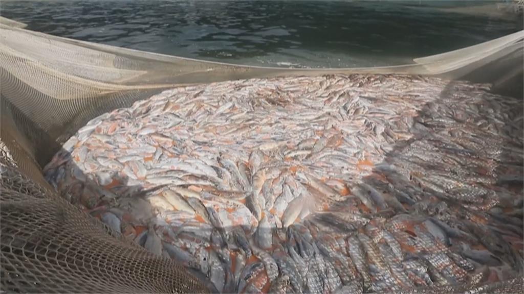 怵目驚心!智利養殖場4200噸鮭魚缺氧暴斃