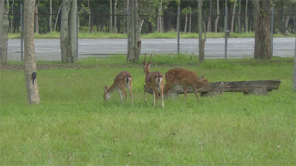 台版「奈良」在台東!鹿野引進13隻鹿打造「梅花鹿公園」