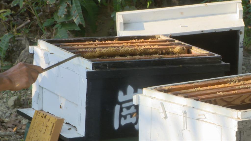 哭了!5萬隻蜜蜂一夜消失 絲瓜農被逮稱「要協助授粉」