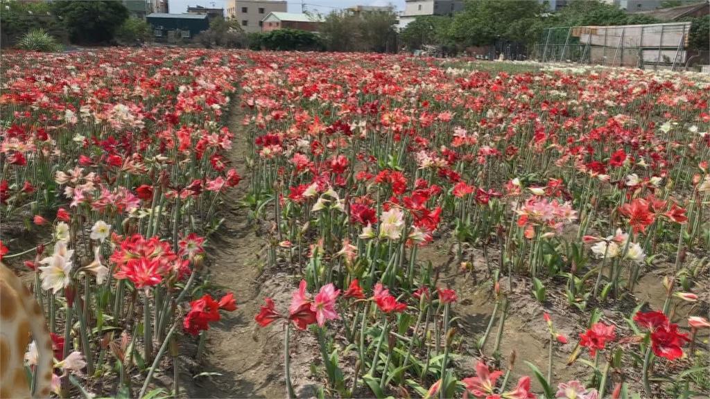 「媽祖花」在這!2公頃孤挺花園吸引朝聖