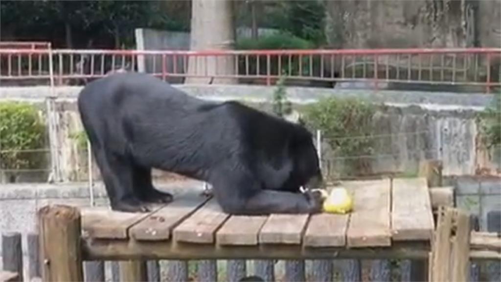 除了月兔 動物們也會過中秋節!壽山動物園黑熊波比 牠這樣過節...