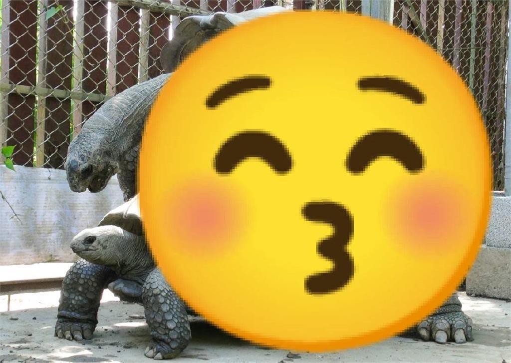 哈茲咖系!陸龜夏季施展雄風 「咻咻噴氣聲」讓人好害羞