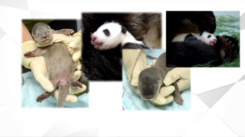 台北動物園喜迎萌寶潮 圓仔妹PK水獺女兒