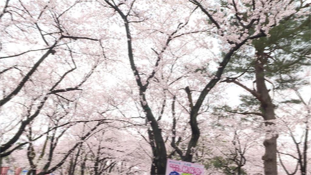 史上最慘!日韓觀光「第二級警示」 旅遊業:賞櫻退團達80%