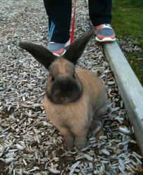 帶兔子到野外散步時要注意什麼呢?