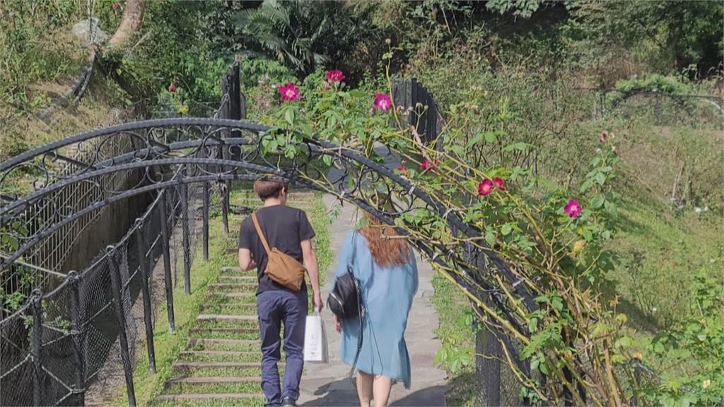 網美注意!苗栗玫瑰花園逾600品種、上萬株玫瑰盛開