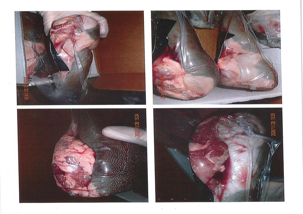 快新聞/食藥署檢出美國牛舌「弓蟲感染」! 超過2千磅退運銷毀