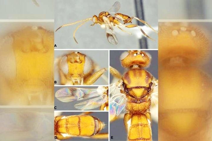 昆蟲學家愛馬林魚隊 新黃蜂命名為「鈴木一朗」