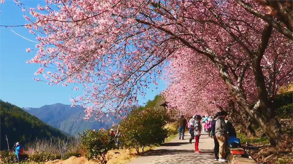 「綠癌」蔓延毀櫻花美景? 武陵農場駁:有清理