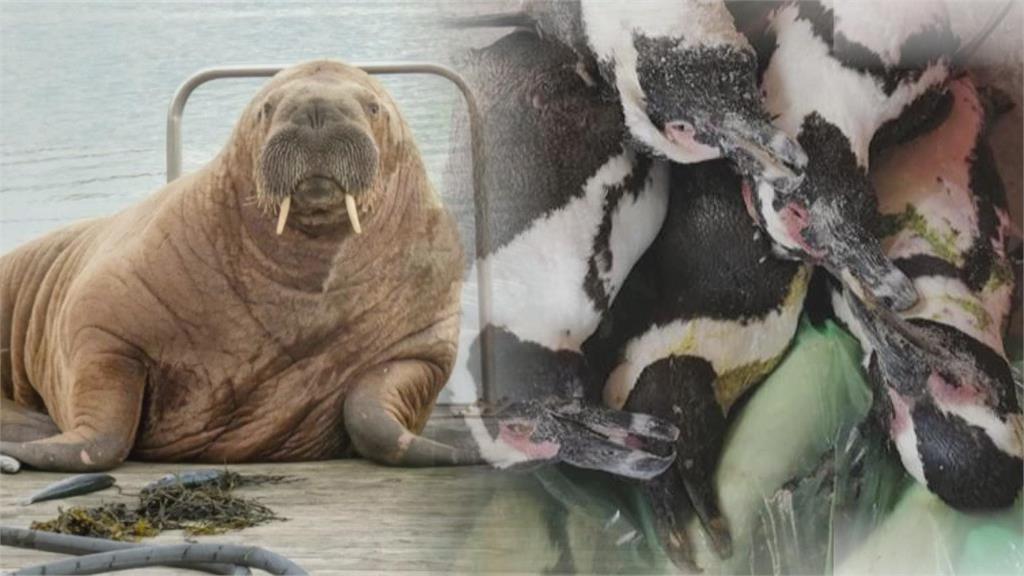 氣候變遷加劇!北極圈海象現異常行動 南非企鵝群「一夕間神祕死亡」