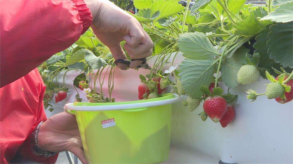 坐輪椅也能採草莓! 「高架草莓」輪椅族樂享採莓趣