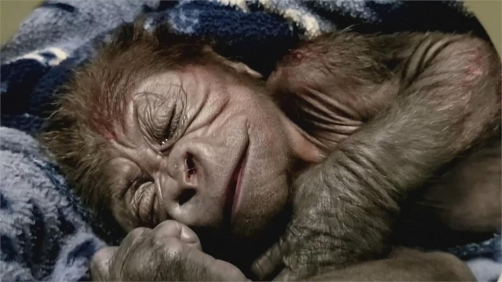 美國瀕危低地大猩猩 39歲高齡終產子