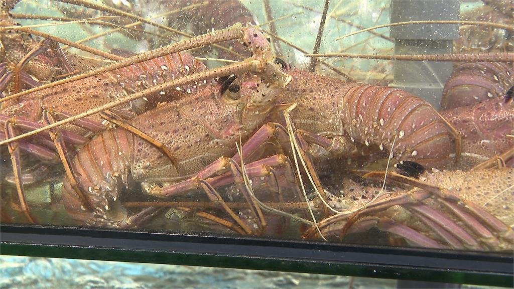 中澳貿易戰延燒!龍蝦價暴跌、掀搶購潮 澳超市祭限購令