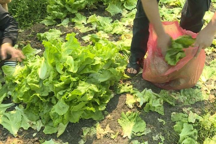 免費「福山萵苣」在這裡!價錢太低菜農開放自取