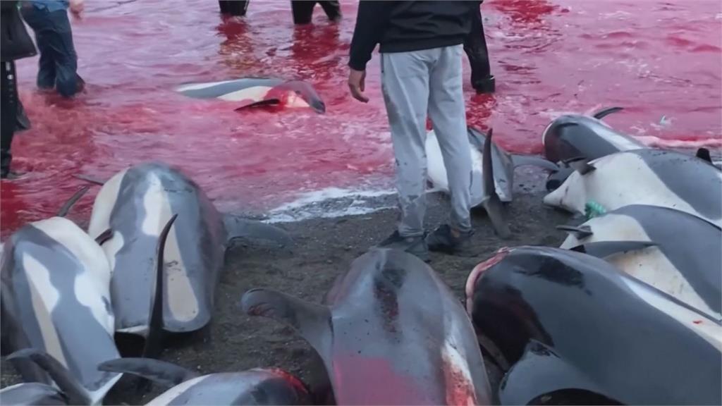 海灘一片血紅!丹麥法羅群島捕獵1428頭海豚 殘忍「傳統」引抗議