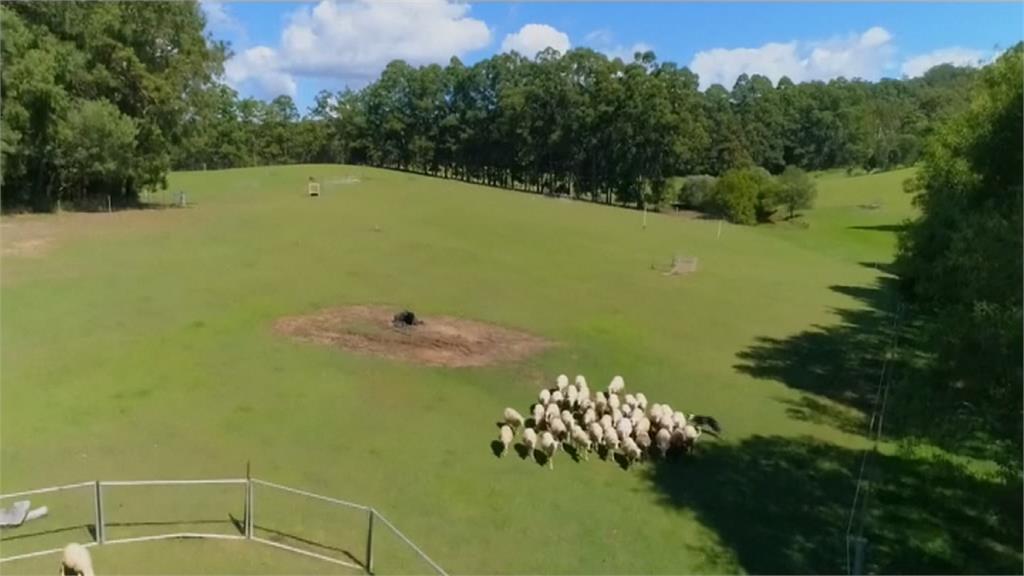 歡迎來當牧羊犬!寵物狗牧羊去可充分放電