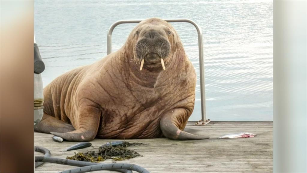 環境變遷失去棲息地!北極圈海象出現異常行動 南非企鵝群一夕間死亡
