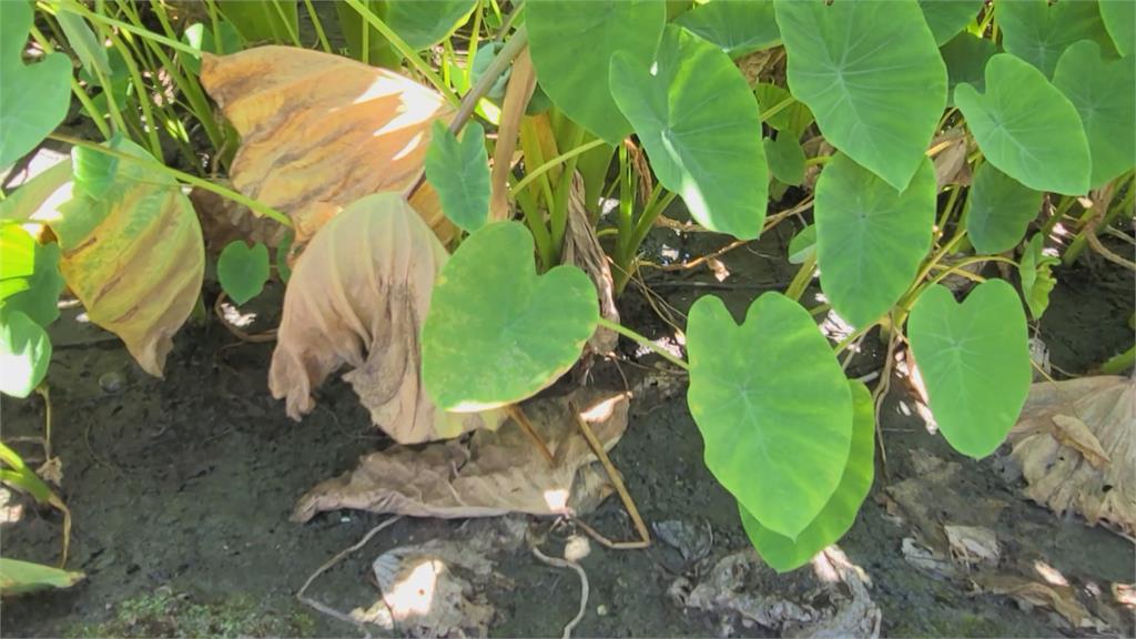 烟花逼近!憂強風吹倒作物 花蓮芋農急修剪枝葉