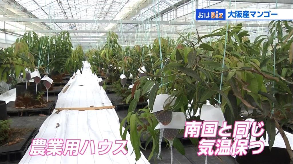 日本也開始產芒果!大阪三顆要價1700台幣
