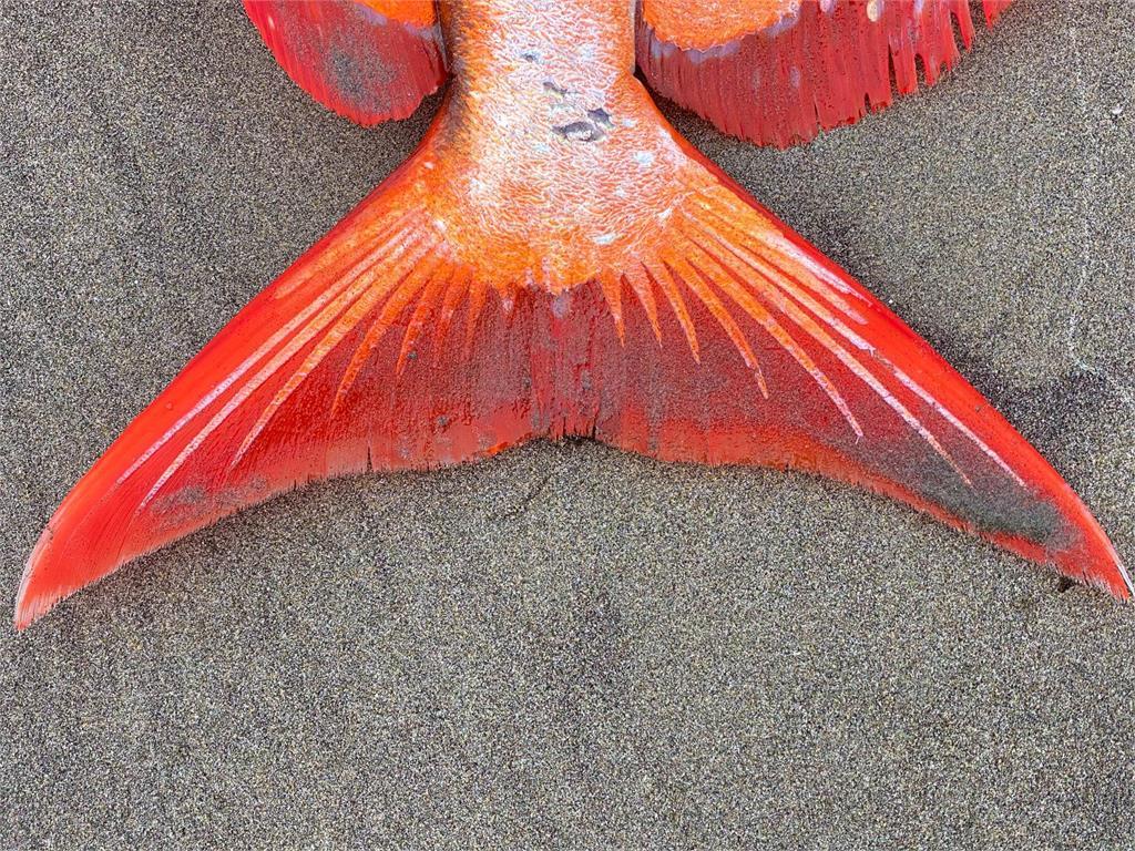 美麗的悲劇!熱帶水域「月魚」擱淺北美海岸 專家:恐全球暖化造成