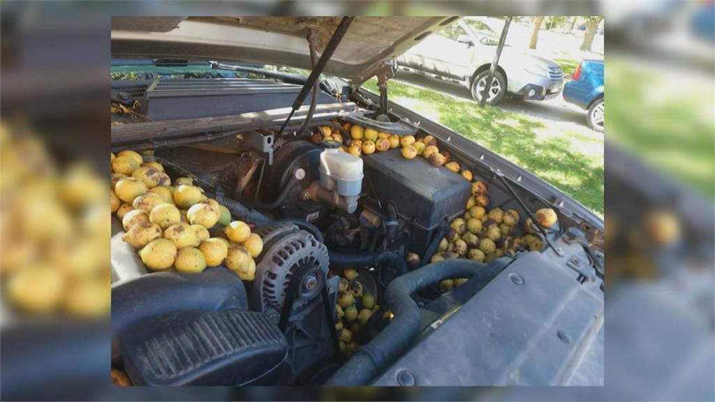 樹上核桃哪兒去了 松鼠「勤勞採收」全藏進車裡